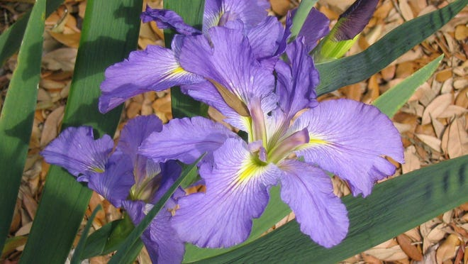 The species called Louisiana irises occur only in Louisiana.