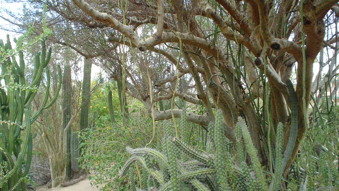 This great old Bursera microphylla at Moorten Botanical Garden may be the largest known specimen in cultivation.