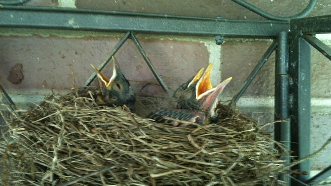 Bolivar's Jane Kollar took a photo of these baby robins waiting on mama in a nest on her back porch recently. Have you taken a nature photo you'd like to share with our readers? Send a .jpg image to hank.keathley@TimesReporter.com. Make sure you include information on who took the photo and where it was taken for caption information.