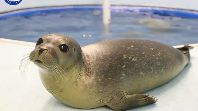 A seal pup rescued from the beach in Ogunquit, Maine, in June 2020, has more than doubled his weight since being admitted in June. He's nearly ready to be released into the wild.