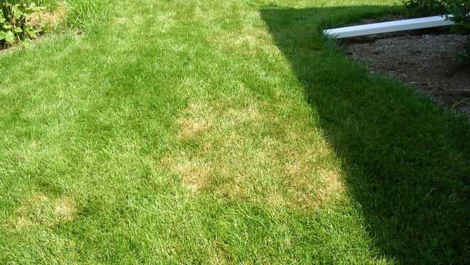 Brown patch appears in lawns as rough circles of blighted turf.