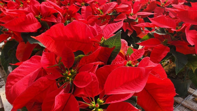The Christmas plants create a sea of red.
