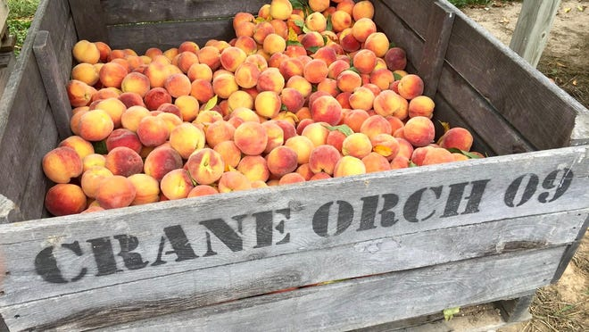 Peach season will officially begin at Crane Orchards on Saturday, Aug. 8.