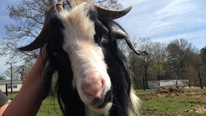 VA the goat lets LaDonna Mock scratch behind one of his ears on Monday at his new home, Gone Wild Safari in Tioga. The goat had lived on the Alexandria VA Medical Center grounds for a few years before being removed.