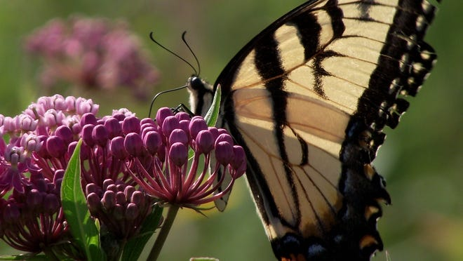 Native plants attract pollinators, such as this tiger swallowtail, as well as bees, hummingbirds and others, creating biodiversity and habitat for a wide variety of species.