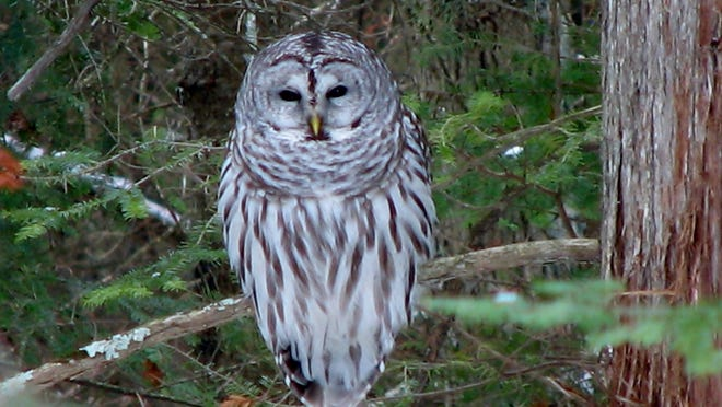 A number of types of owls, like this barred owl, will nest in a box. A Jan. 15 workshop at The Ridges Sanctuary in Baileys Harbor gives participants the chance to build an owl nesting box to take home.