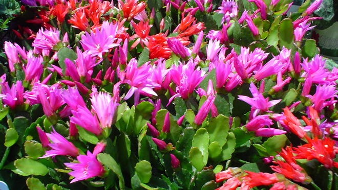 You'll find very small potted Christmas cactus on display all over the desert around the holidays.