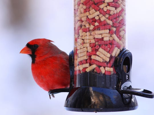 A cardinal perches on a feeder filled with suet kibbles.