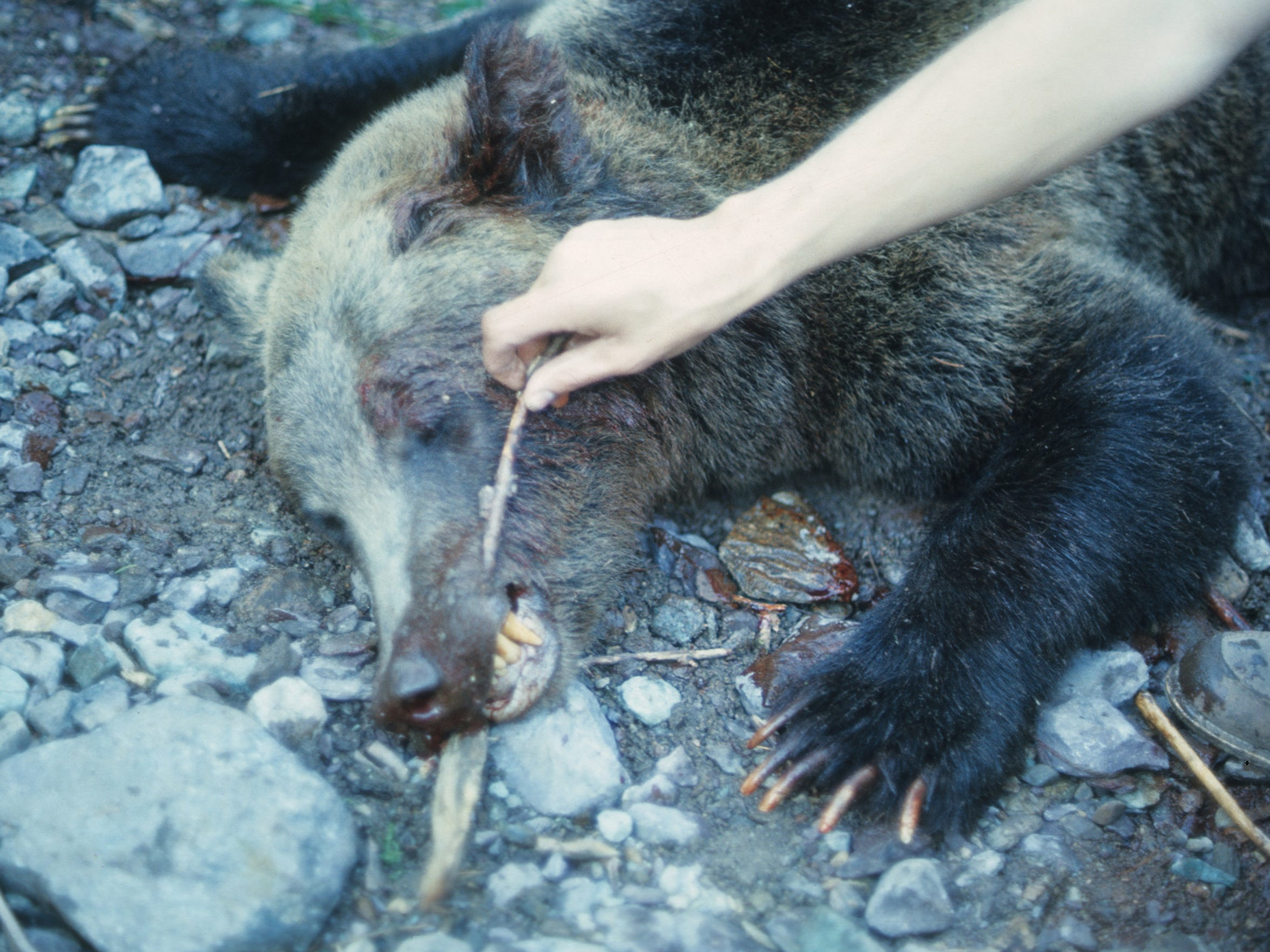 Shards of glass were found embedded in the sow's gums.