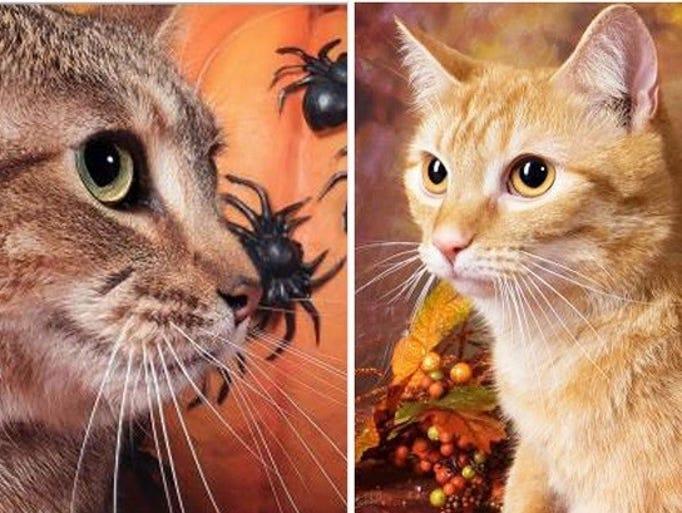 Pippa Cat Animal Humane Society