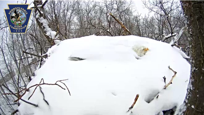 A York County eagle stays attentive to its two eggs during a snow storm March 5, 2015.