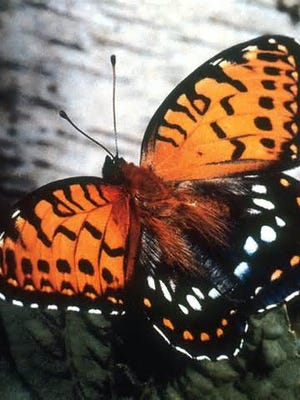 Resolutions have been introduced in the House and Senate to declare the regal fritillary, a rich reddish-orange and black insect, as the official butterfly of the state of Iowa.