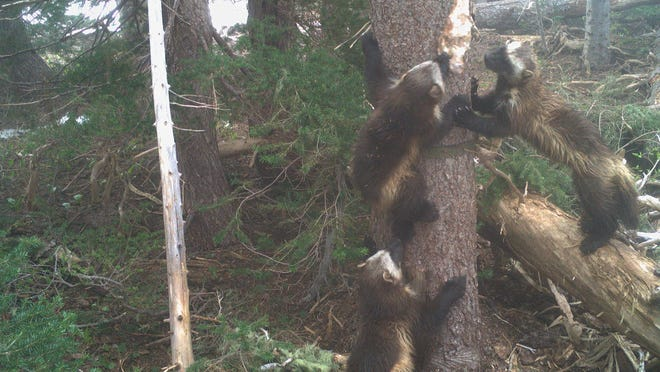 Mount Rainier National Park is once again home to wolverines, after a more than 100-year hiatus.
