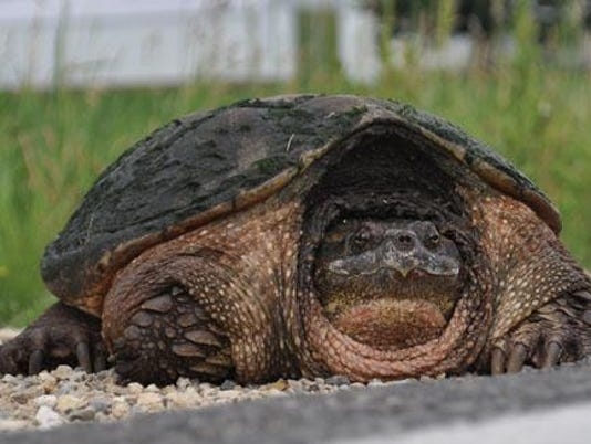 636024718531993128-Snapping-Turtle.jpg