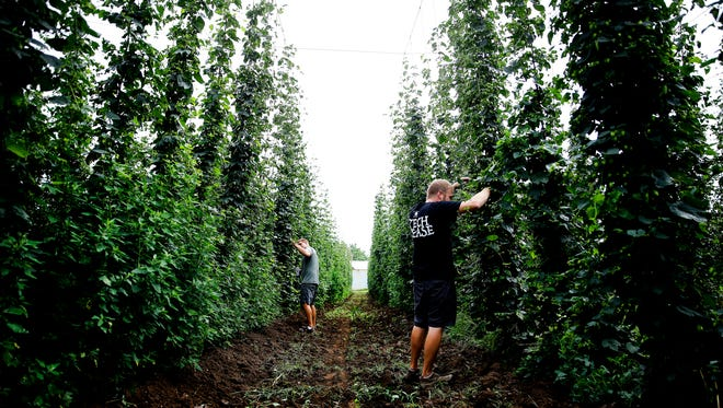 Indy High Bines co-owners K.C. Lewis (right) and Ryan Gettum check for quality, pests and weeds along their hop bines on July 7, 2016.