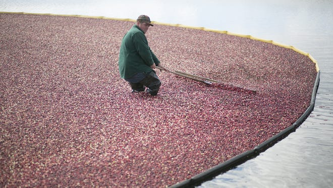 John Moss works on pushing cranberries toward a pump at Elm Lake Cranberry Company in  2014. After the cranberries go through the pump they are then washed and fed into a truck.