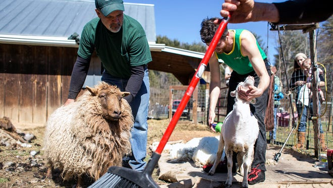 Farmer Bryan Orr, left, holds a sheep for shearing while Ben Hearne, right, finishes shearing an ewe during annual shearing day at Sycamore Farms in Mills River on March 7. Jonathan Hearne, with the broom, has been shearing sheep for 39 years, and working with the Sycamore Farms flock for the past eight.