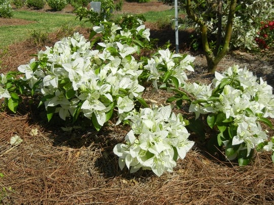 Bougainvillea 'Miss Alice' is a compact variety with large white bracts.
