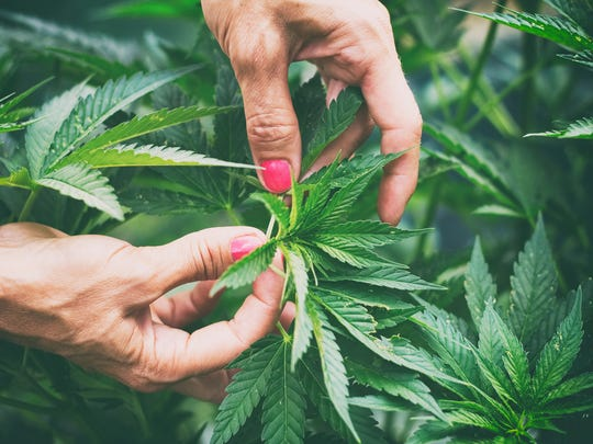Two hands with pink manicured nails working a marijuana plant