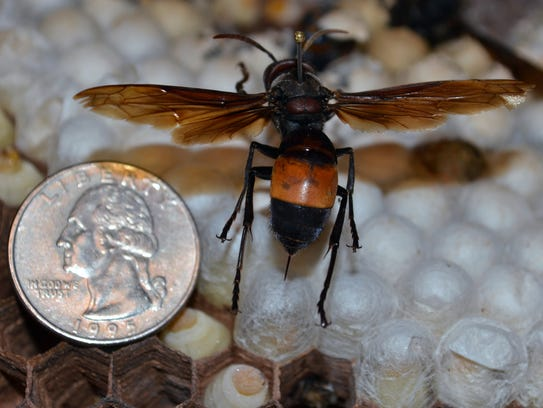 The greater banded hornet.
