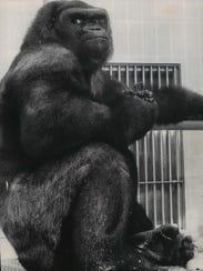 Samson, the Milwaukee County Zoo's beloved lowland
