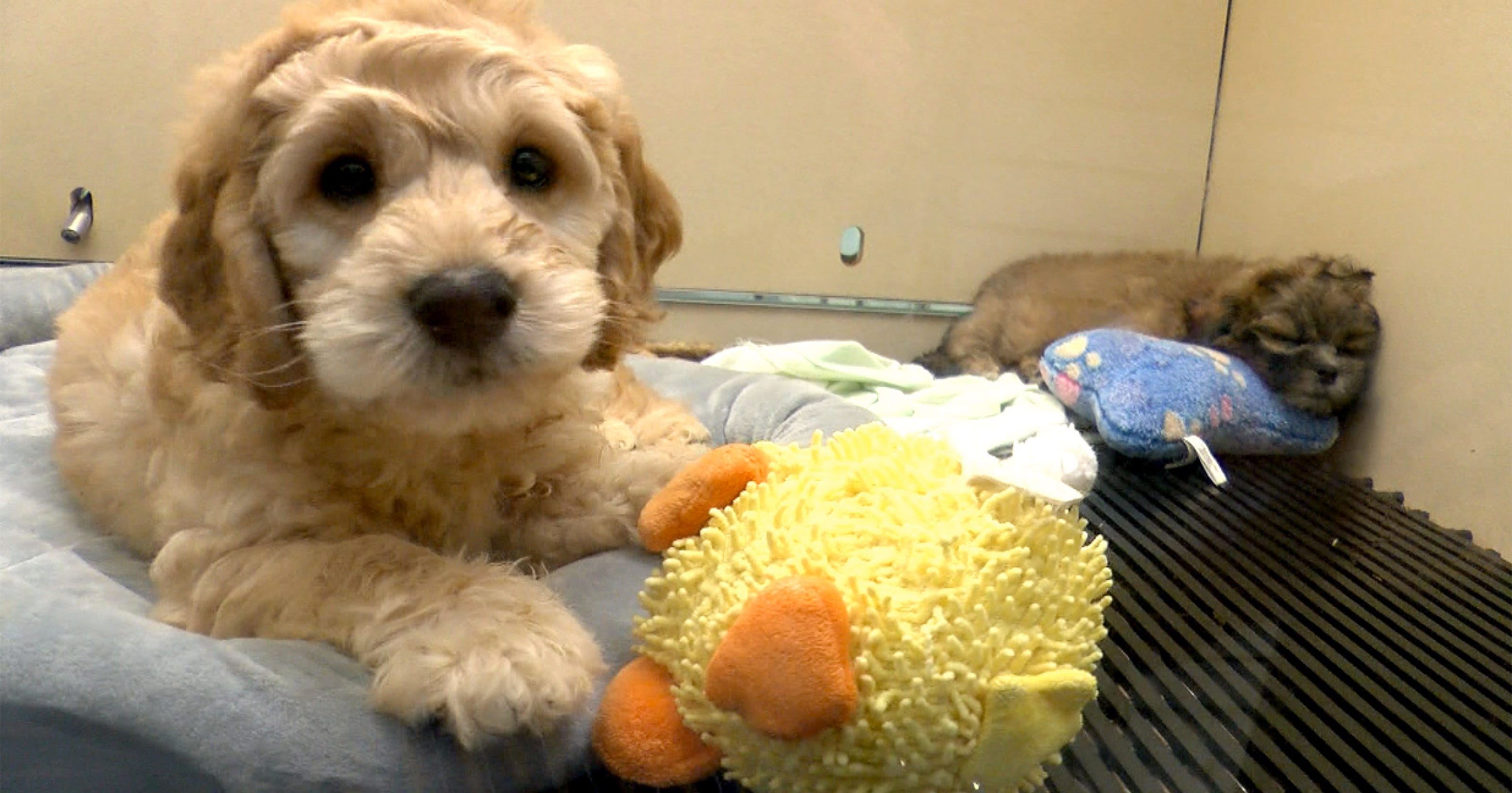 Bark Avenue Puppies: Red Bank ban would kill my business