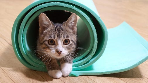 The York County SPCA will host cat yoga March 18 and 25.