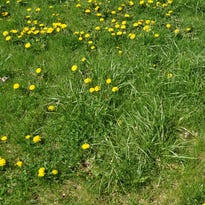 Dr. Dirt: Tall fescue can be tough to kill
