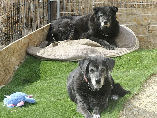 Harold (rear) and Itsy are two of the kennel's older residents.