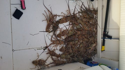 Three arrested after FWC discovered an illegal stash of lobster in the Florida Keys.