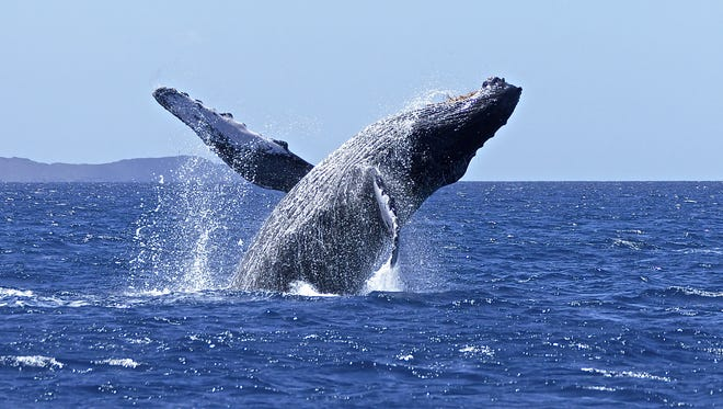 A 35- to 40-ton humpback whale breeching off the coast of Maui, Hawaii.