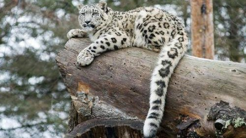 Snow leopards are very real, and you can see them for yourself at Binder Park Zoo.