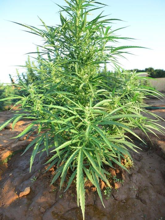 VTD0905_Marijuana_3654
