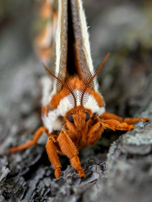 """Orange Crush,"" by Richard Bagdasarian of Wixom.  A giant silk moth alighted on a tree in Bloomfield Hills. ""It was larger than a monarch butterfly, and it had huge antennae!"" he said. ""Look at that orange fur!"""