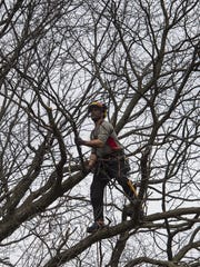 Arborist Mac Swan cuts a branch full of buds from an