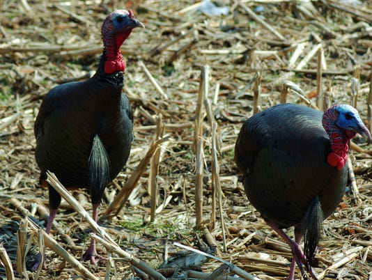 635967982160357478-LDN-DW-042416-Two-turkeys.jpg