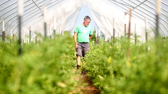 Ivor Chodkowski looks at tomatoes in a greenhouse at his Field Day Family Farm.