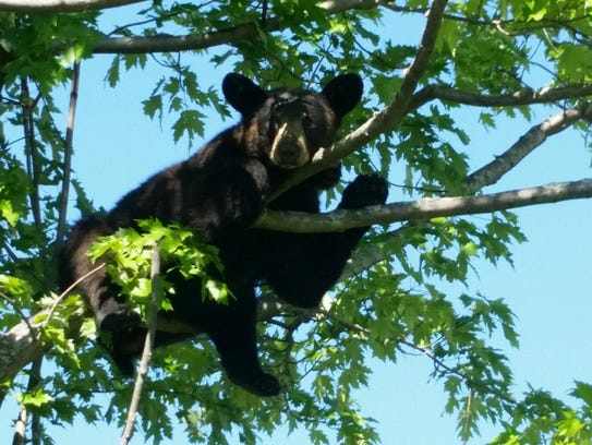 A young black bear that wandered about 15 feet up a