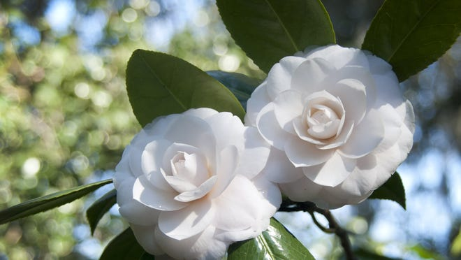 This undated image provided by Middleton Place in Charleston, S.C., shows a pair of perfect white camellia blossoms in full bloom. Middleton Place is a 65-acre property and National Historic Landmark known for its landscaped gardens. Each spring, Middleton Place hosts â??Camellia Walksâ? to show its camellias to visitors. This yearâ??s walks run through March 23. The walks are among a number of events around the country showcasing spring flowers at festivals, gardens and shows. (AP Photo/Middleton Place)