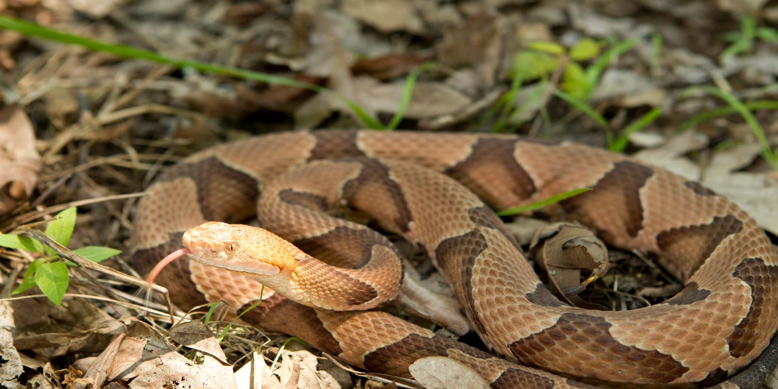 Experts offer SC residents advice on avoiding copperhead ... on texas copperhead snake map, rattlesnake range map, cherskogo range map, copperhead snakes in west tennessee, snakes in ohio map, copperhead and cottonmouth snakes, cottonmouth snake territory map, poisonous snakes in illinois map, copperhead snakes southern illinois, pied-billed grebe range map, copperhead yardage book, coywolf range map, pa rattlesnake map, cottonmouth water moccasin range map, northern copperhead snake map, snakes habitat map, southern leopard frog range map, copperhead snakes in alabama, blue-ringed octopus range map, copperhead snakes in south carolina,