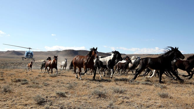 A helicopter herds wild horses into a trap near Bairoil last week during the Bureau of Land Management's wild horse roundup.