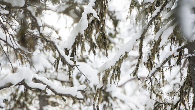 In this 2017 photo, snow weighs down tree limbs in the Helena-Lewis and Clark National Forest.