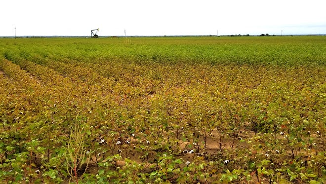 A cotton field in Wilbarger County started showing damage at the end of September from alternaria leaf spot.