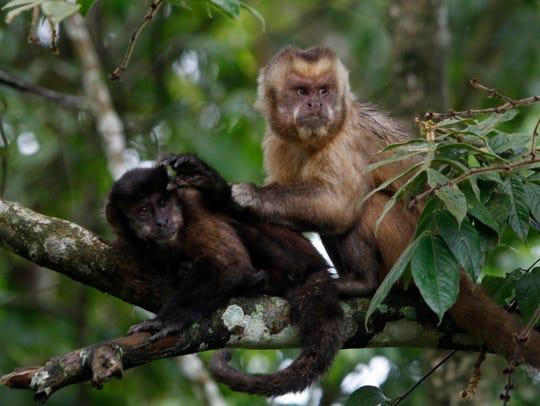 Monkeys in the Machia Park in Bolivia.