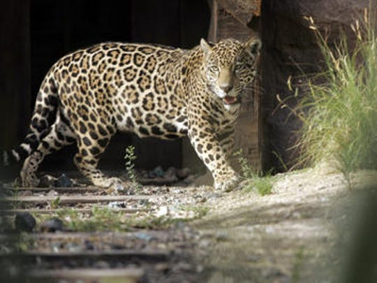 Magia, the Living Desert's female jaguar, has died, zoo officials announced Friday on Facebook. Magia was nearly 10 years old and suffered complications coming out of anesthesia following an exam and eye procedure at the zoo in Palm Desert on Thursday, officials said.