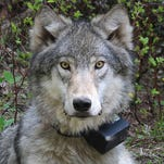 Wolf studies by UW and WSU reach different conclusions