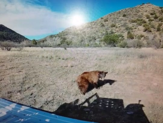 Known to state wildlife officials only as Mesa Bear,