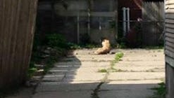 A toy tiger is pictured in a Grand Rapids backyard