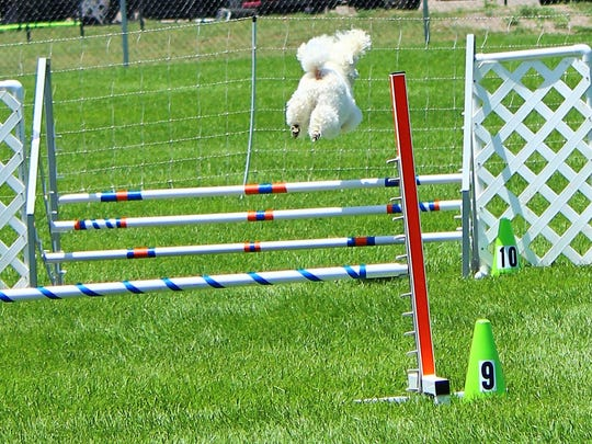 This fireball soars high as he jumps his way through this obstacle. He certainly is getting the most from his kibbles.