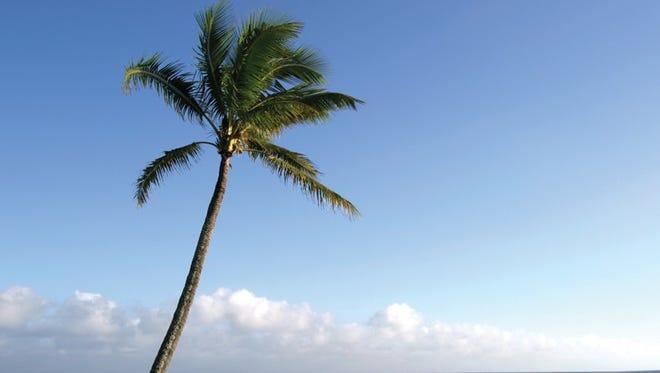 Palm tree in Maui.